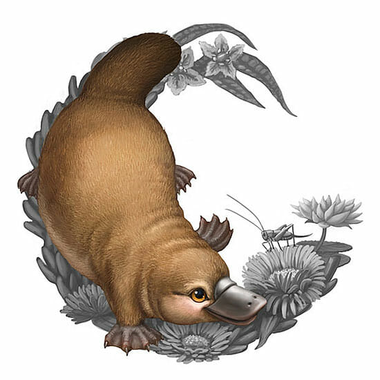 Illustration of a platypus for the Bush Babies II coin series