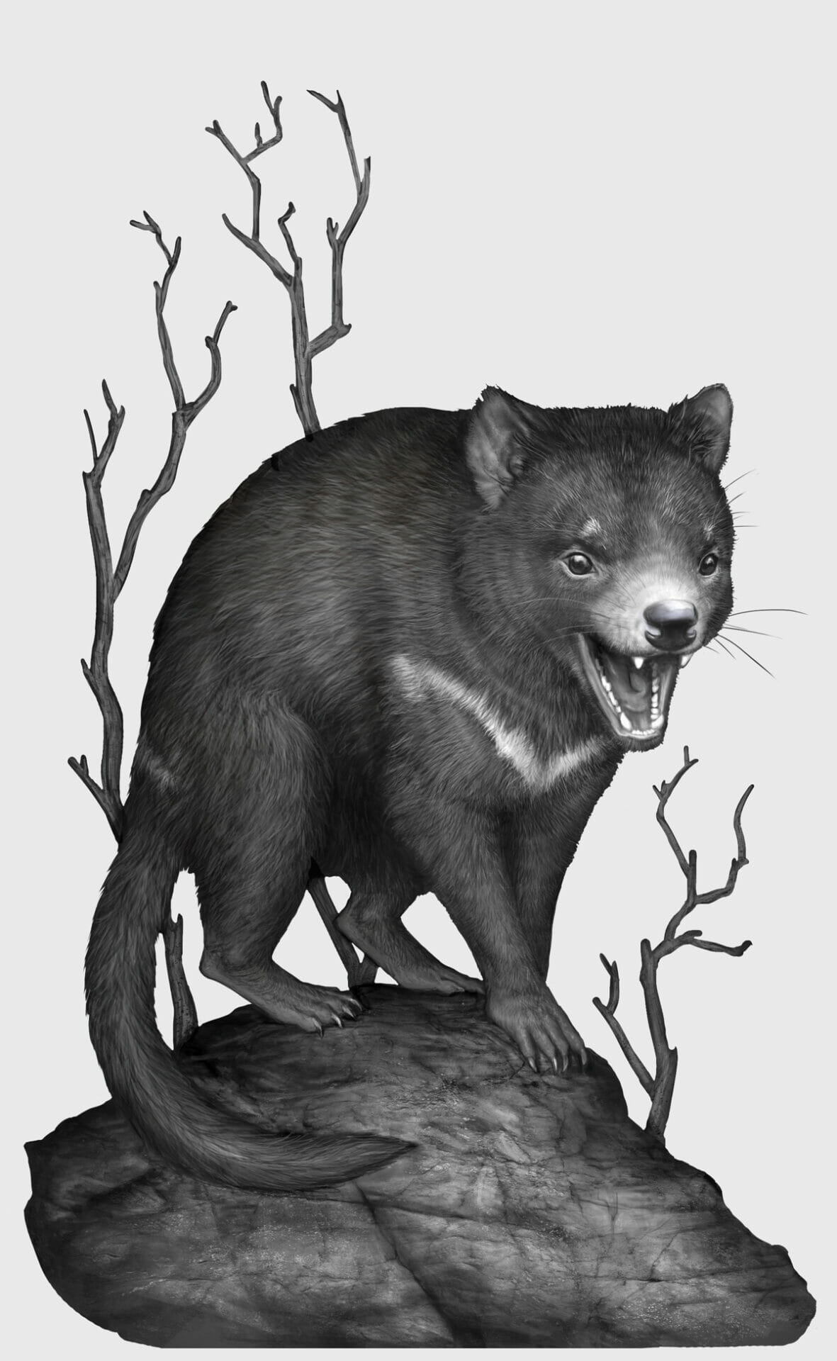 Tasmanian devil illustration